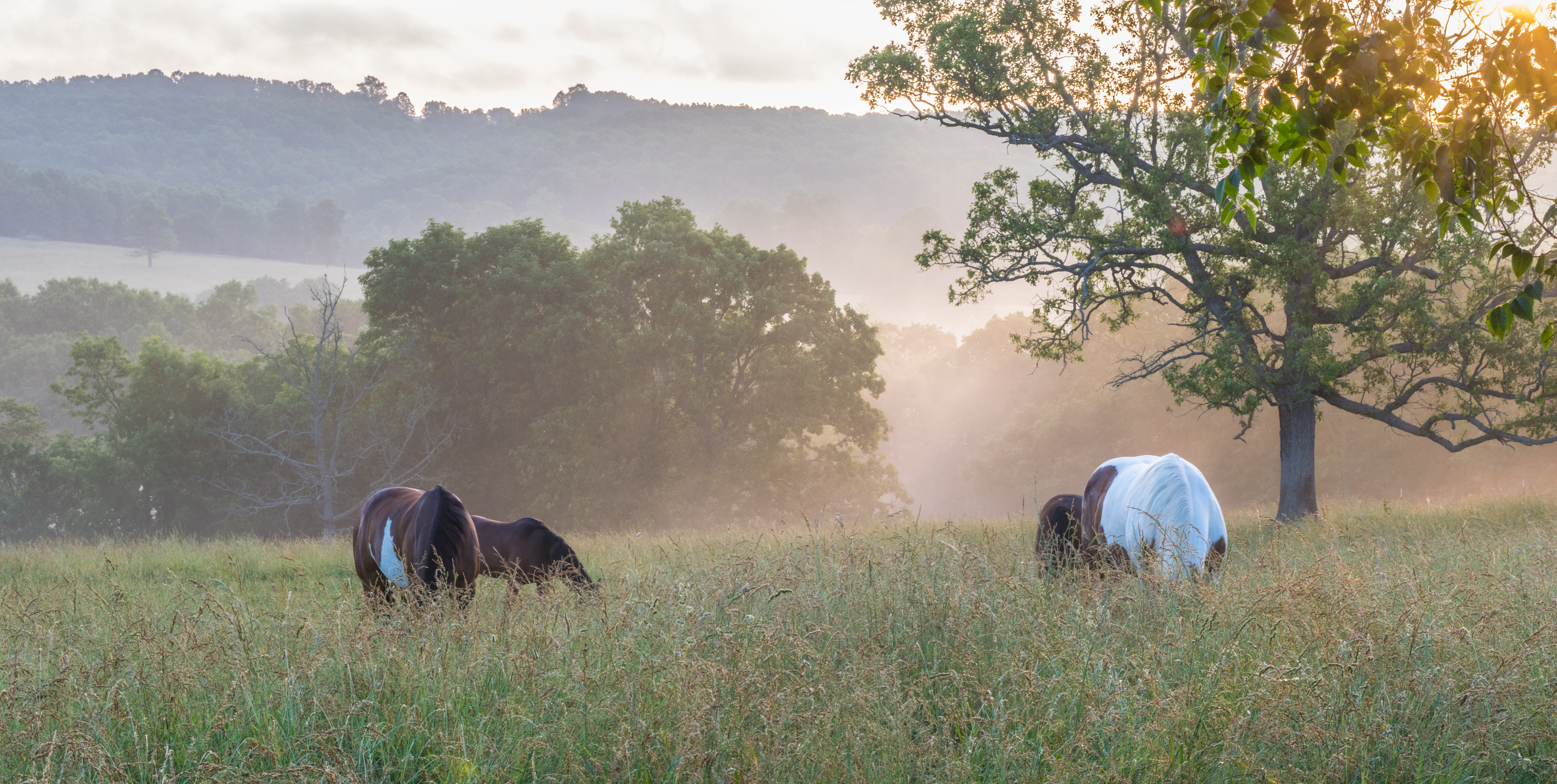 horses grazing in the morning