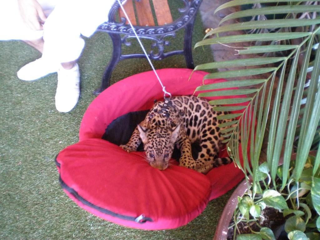 baby jaguar playing