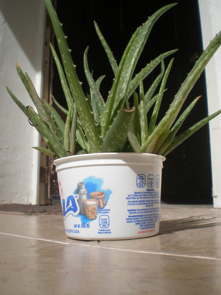 aloe vera in container